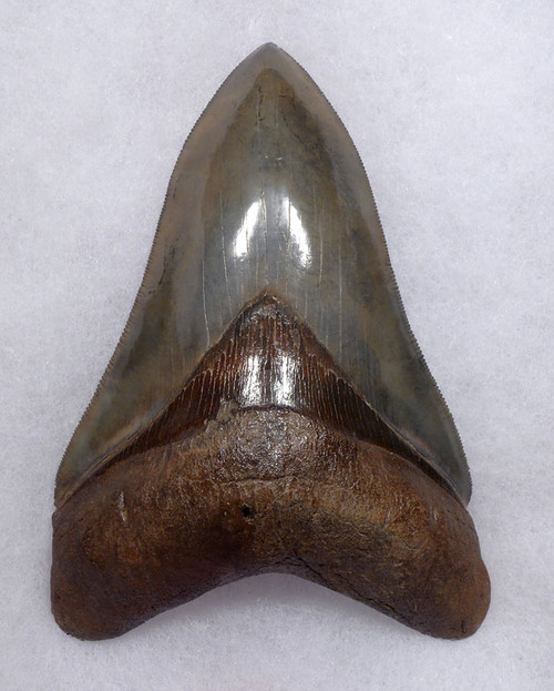 SH6-405 - INVESTMENT GRADE 5 INCH MEGALODON SHARK TOOTH WITH RARE OPEN SPOTTED GOLD AND GRAY ENAMEL