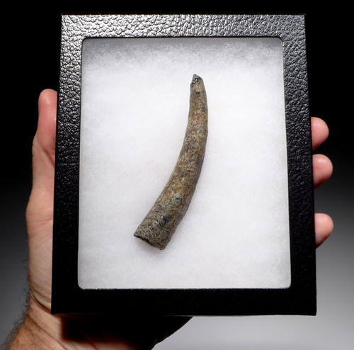 WH033 - RARE PREHISTORIC SPERM PHYSETER WHALE TOOTH OF EXCEPTIONAL SIZE PRESERVATION