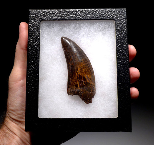 FINEST QUALITY 3.5 INCH CARCHARODONTOSAURUS FOSSIL TOOTH FROM THE LARGEST MEAT-EATING DINOSAUR *DT2-099