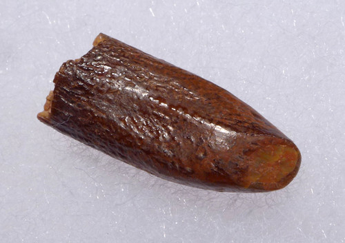 PREMIUM FOSSIL TOOTH FROM A DIPLODOCOID SAUROPOD DINOSAUR *DT9-033