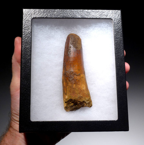 ENORMOUS UNBROKEN SPINOSAURUS FOSSIL TOOTH FORMERLY 5+ INCHES LONG *DT5-335