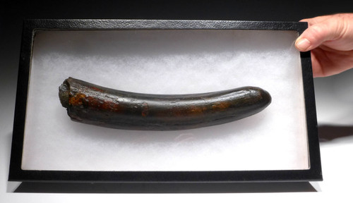 STUNNING BLACK AND RED WOOLLY MAMMOTH TUSK END OF EUROPEAN ORIGIN WITH CHOICE PRESERVATION*MTP03