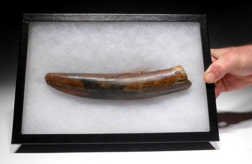 INCREDIBLY RARE COMPLETELY NATURAL WOOLLY MAMMOTH TUSK END OF EUROPEAN ORIGIN *MTP06