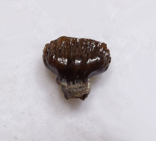 ARMORED FOSSIL DINOSAUR TOOTH FOR SALE