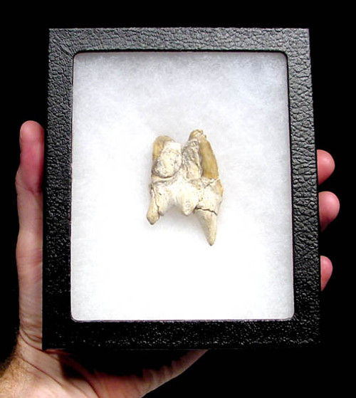 SH1-009 - RARE SEVERE PATHOLOGICAL SIAMESE TWIN ATTACHED DOUBLE OTODUS OBLIQUUS SHARK TOOTH