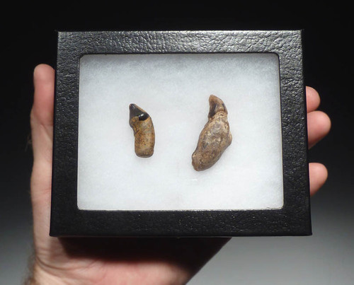 PIN004 - MIOCENE FOSSIL ALLODESMUS SEA LION ROOTED FANG AND LATERAL TOOTH FROM SHARK TOOTH HILL, CALIFORNIA, U.S.A.