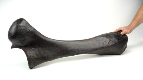 LM8-106 - WOOLLY MAMMOTH LARGE COMPLETE ULNA LOWER ARM FOSSIL BONE