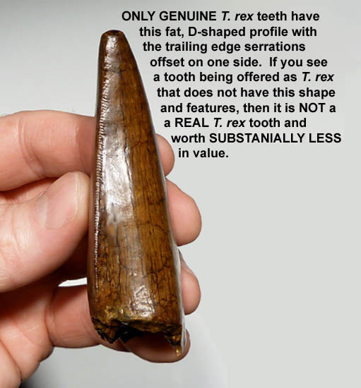 T. REX TOOTH IDENTIFICATION