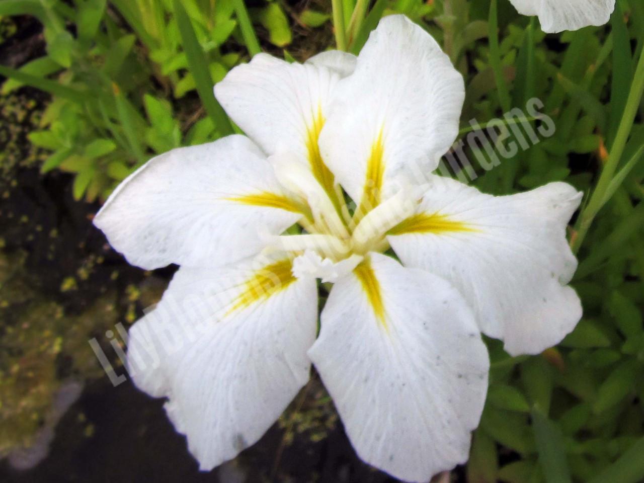 Anytus Hardy White Japanese Water Iris