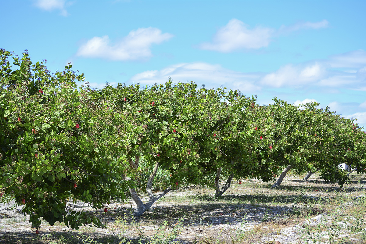 cashew-tree.jpg