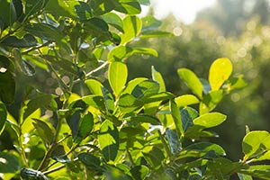 Yerba Mate Tree