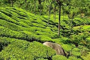 Nilgri Tea Garden