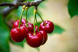 Wild Cherry Orchird