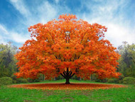 Trees With the Most Vibrant Fall Colors