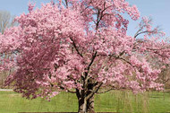 Flowering Tree Benefits