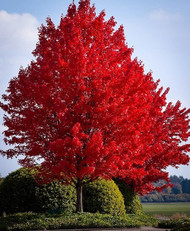 Red Maple Trees For Sale