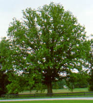 chestnut-oak-tree.jpg