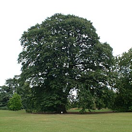 chestnut-oak-tree2.jpg