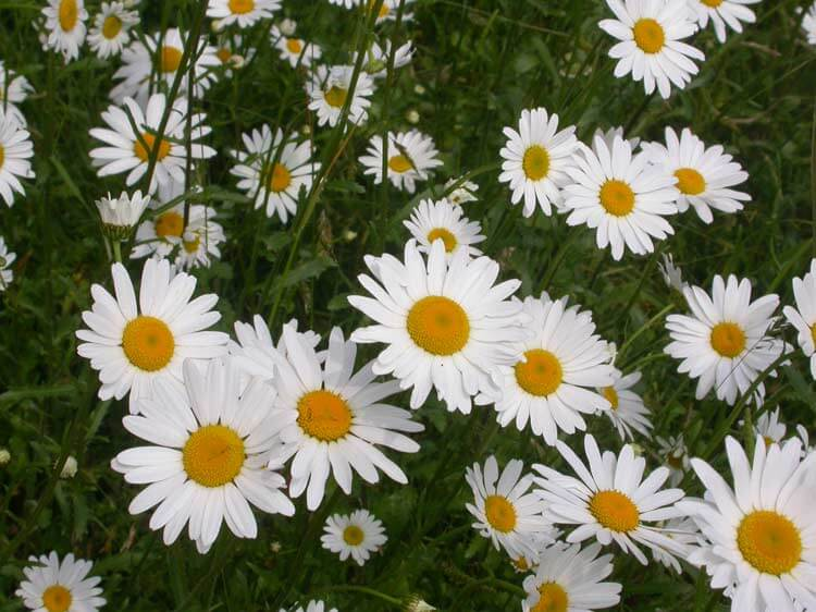 Daisy Plant For Sale Online Low Prices Fast Ship