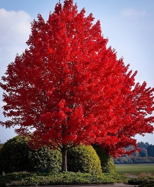 red-maple.jpg