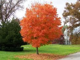 Buy Sugar Maple Tree At Low Grower Prices Fast Shipping