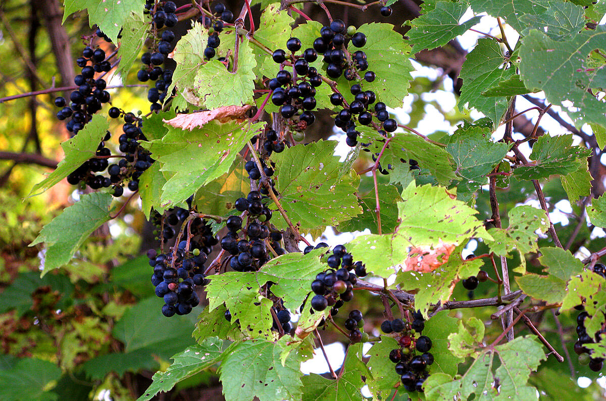 wild-grape-vine2.jpg