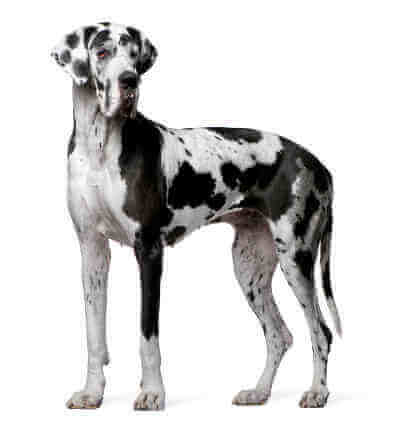 Wall And Door Pet Doors For Great Danes And Other Giant Breeds