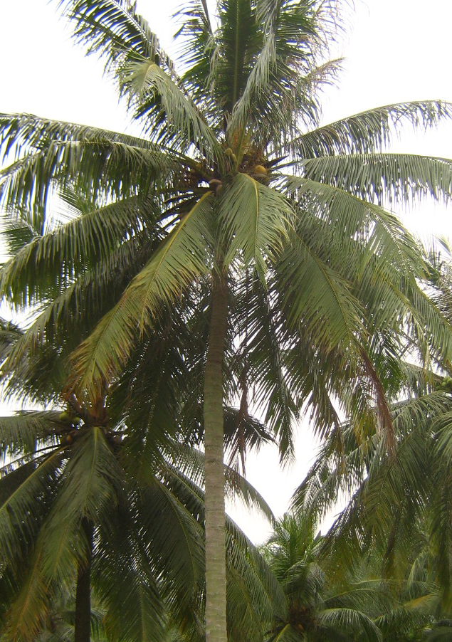 coconut-palm-tree.png