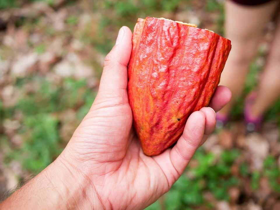 organic-cocoa-pod.jpg