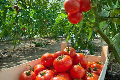 From Beefsteak to Brandywine: How to Grow Tomatoes This Summer