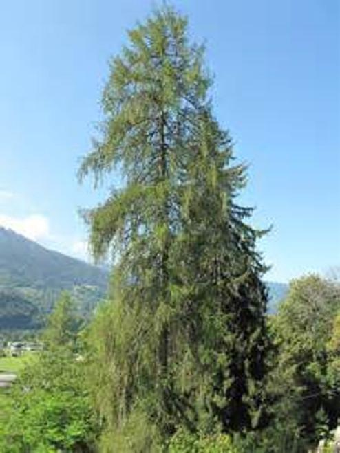 European Larch A+2, 100 Trees
