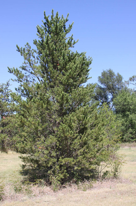 Jack Pine A+2, over 500 Trees