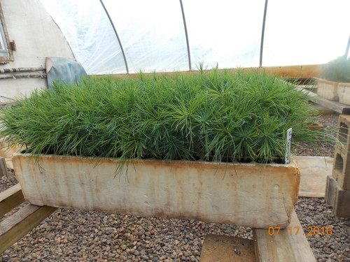 White Pine Containerized Seedlings