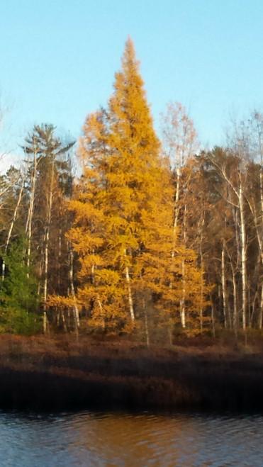 Tamarack A+3, 250 Trees
