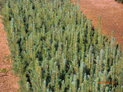 Blue Spruce Kaibab A+2, over 500 Trees
