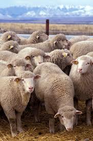 nznc-sheep.jpg
