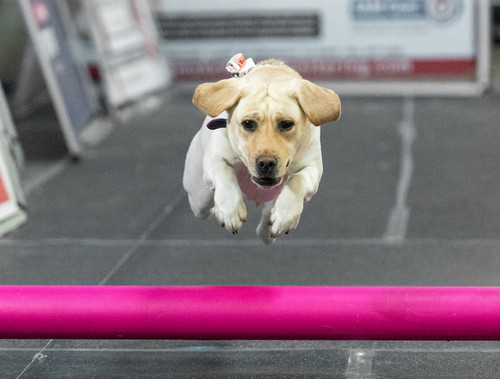 ​Lure 101: A Fun Sport with your Dog