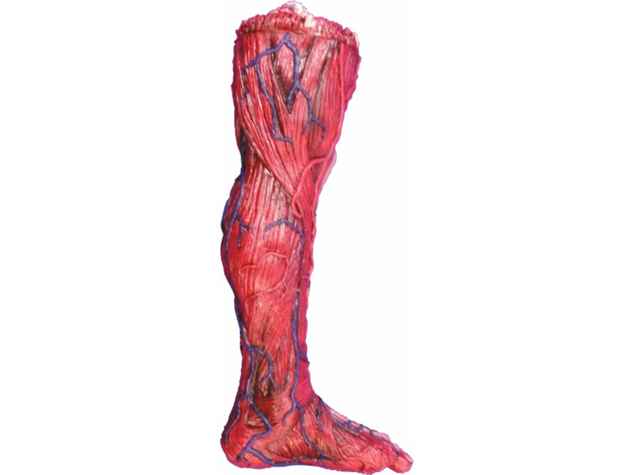 Severed Leg Prop | See Muscle Tissue Veins | House Of Hauntz