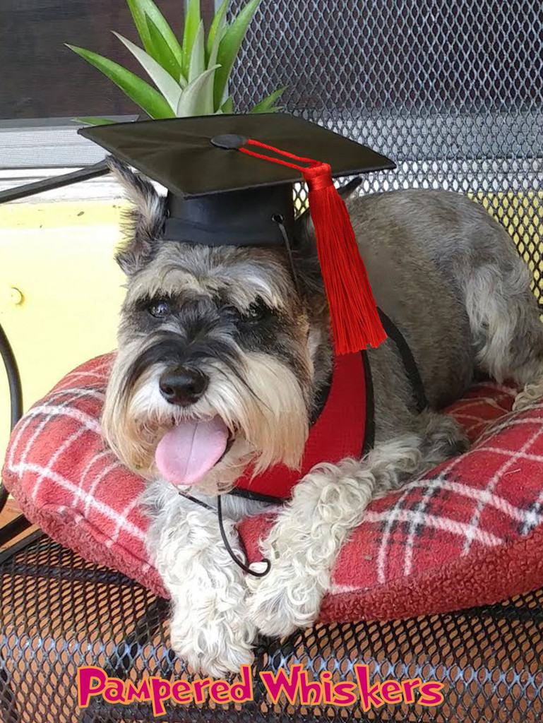 Dog Graduation Cap - The Graduate - graduation cap for dogs and cats