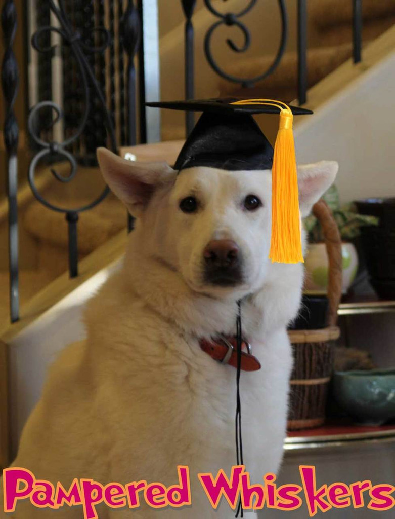 Graduation cap for large dog
