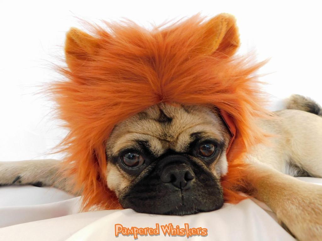 dog lion mane