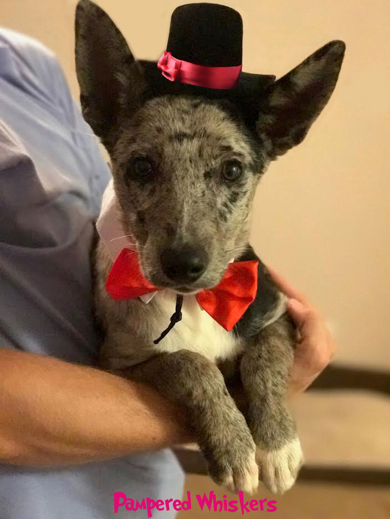 Dog Top Hat and Bowtie