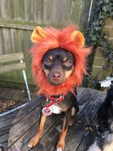 Cat-Dog Lion Mane - Jungle King