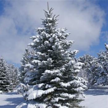 Sweet Pine