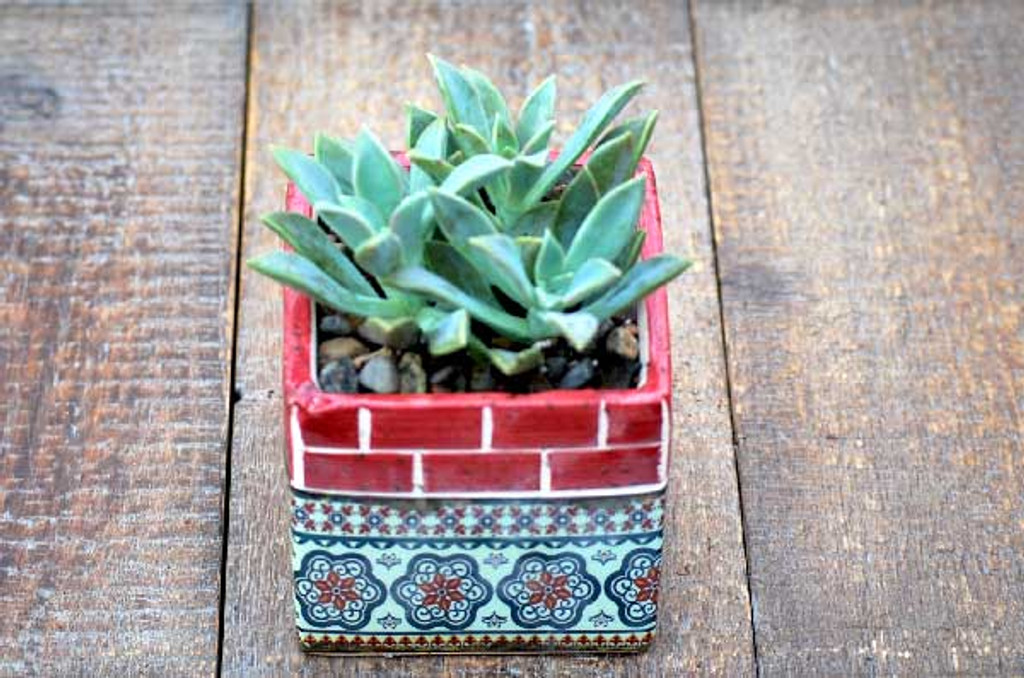 Barcelona Red Multi Mini Square Potted Succulents