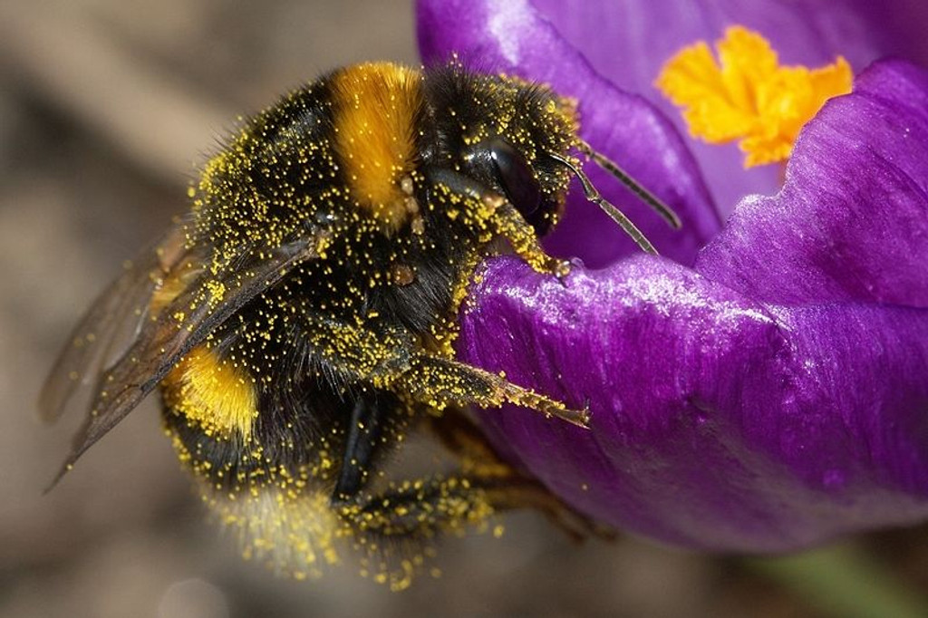 Attracting Bees to your Garden the safe way