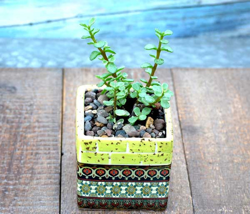 Barcelona yellow multi mini square potted succulents