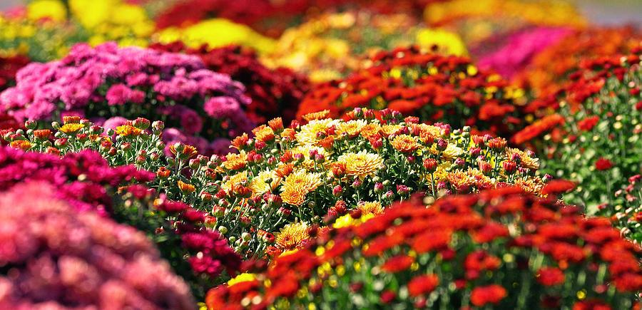 fall-mums-mary-anne-williams-1024x1024.jpg