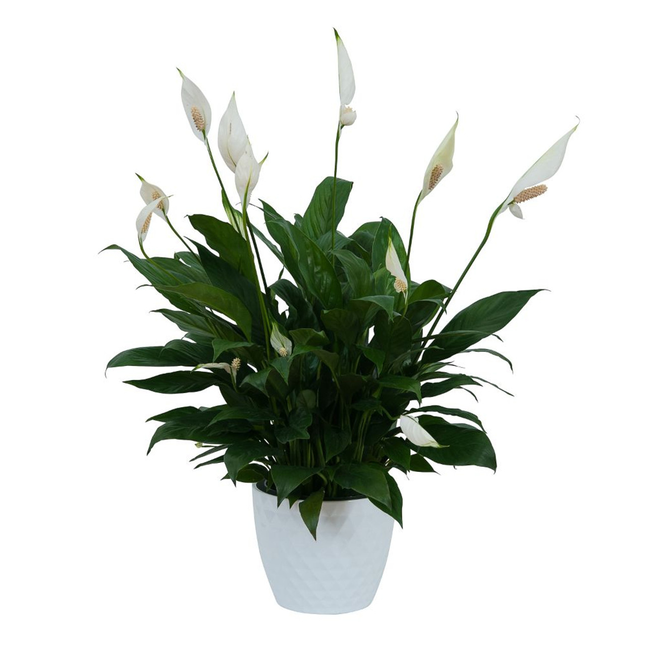 Peace Lily Plant In White Ceramic Container Abbott Florist