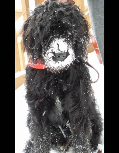 a black goldendoodle named Brady with snow over his nose